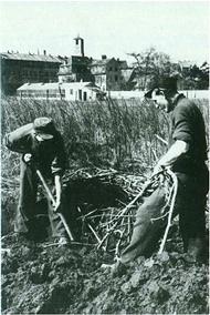 Letztes Bild von gewerblichen Süßholzanbau in Bamberg aus dem Jahr 1950